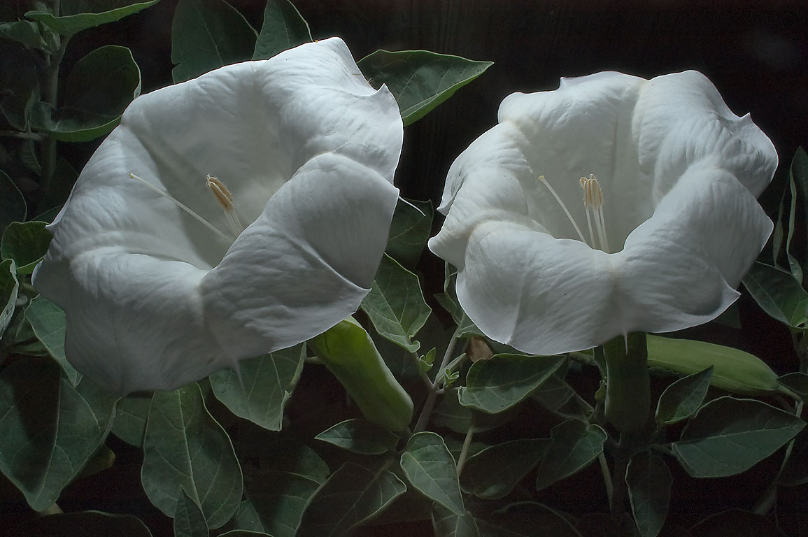 White flowers of Jimsonweed (Datura) in TAMU...M University. College Station, Texas