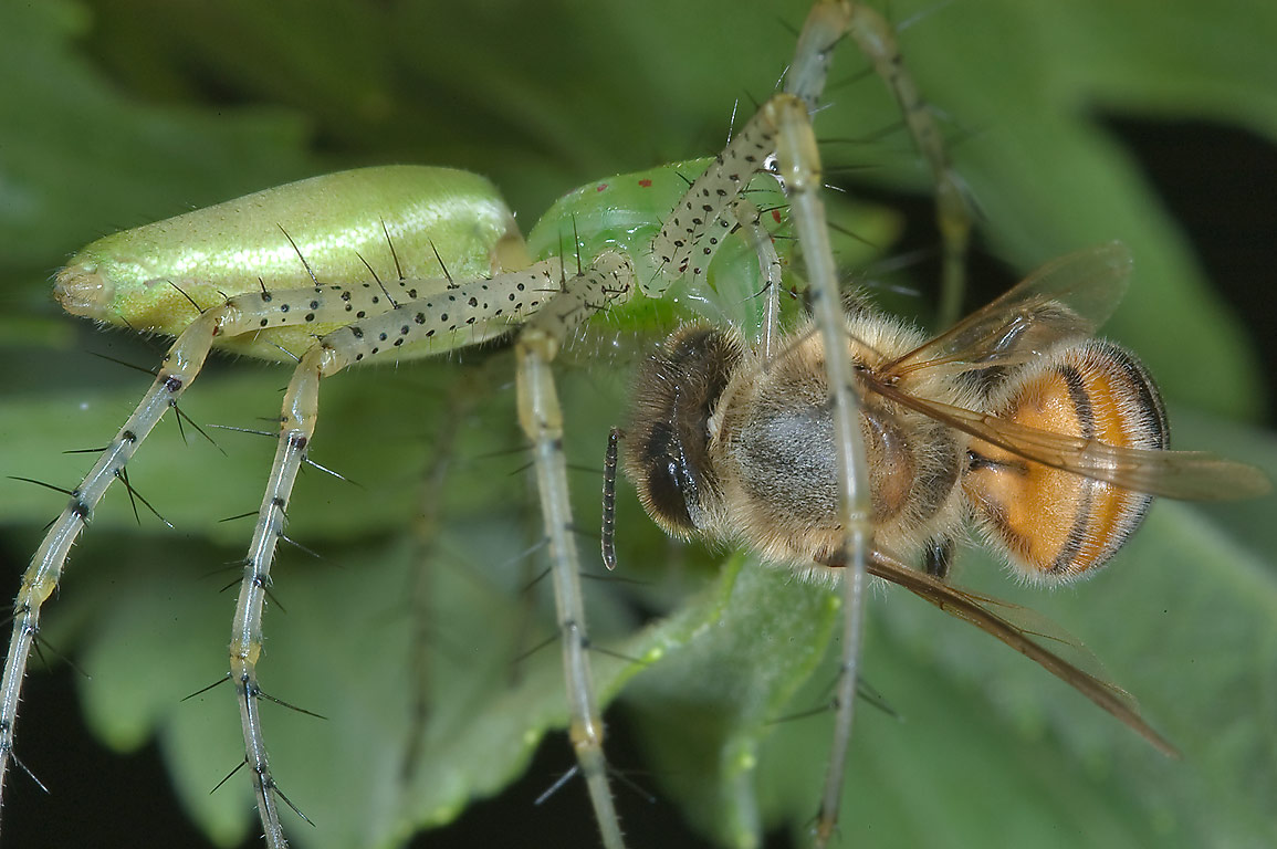 Green lynx spider eating a bee in Washington-on...State Historic Site. Washington, Texas