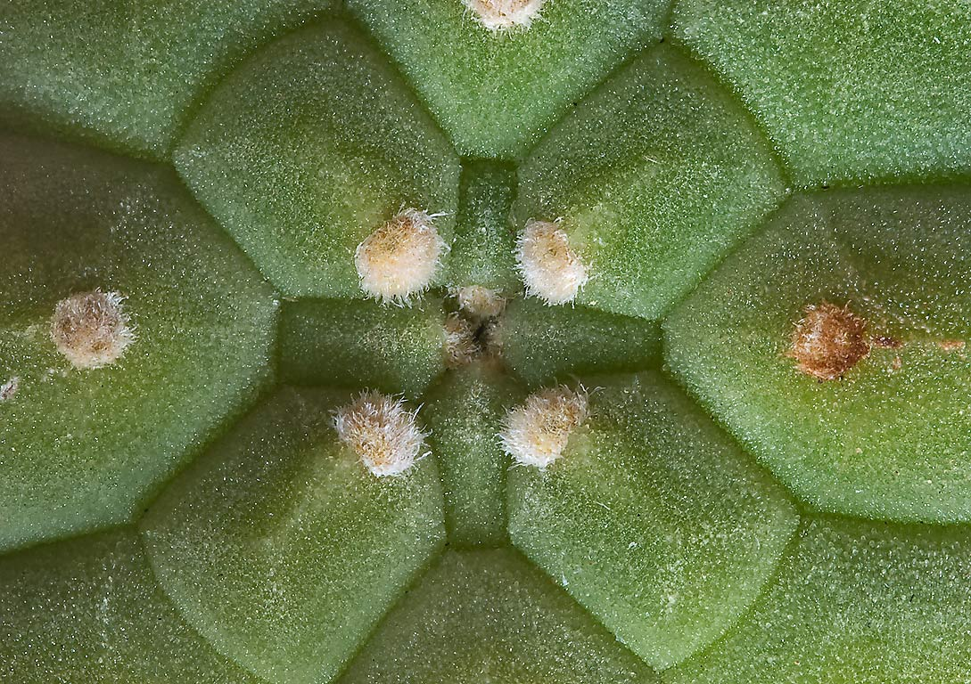 Apical meristem of a potted cactus in Antique Rose Emporium. Independence, Texas