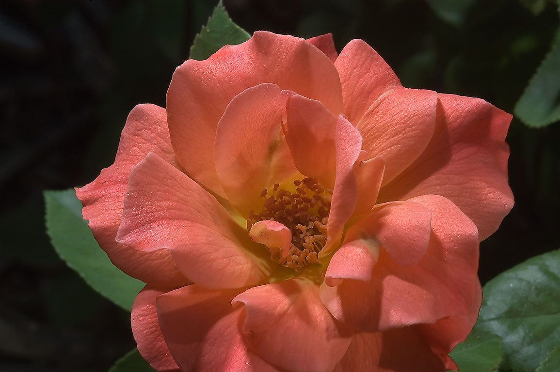 Red rose in Antique Rose Emporium. Independence, Texas