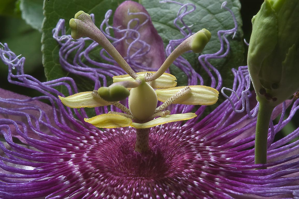 Purple passion flower (passiflora) close up in Antique Rose Emporium. Independence, Texas