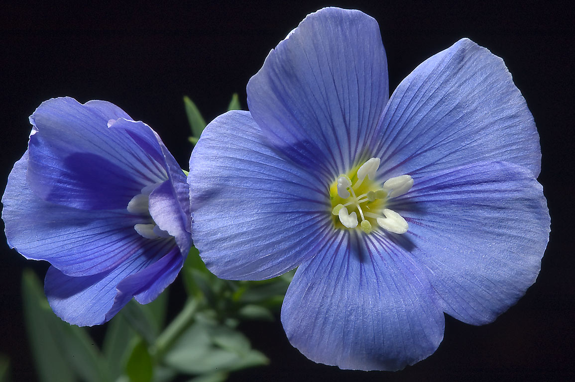 Blue flax (Linum) in TAMU Horticultural Gardens...M University. College Station, Texas