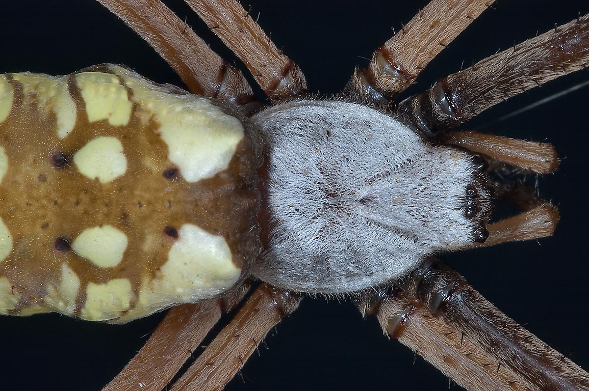 Close up of a garden spider in TAMU Holistic...M University. College Station, Texas