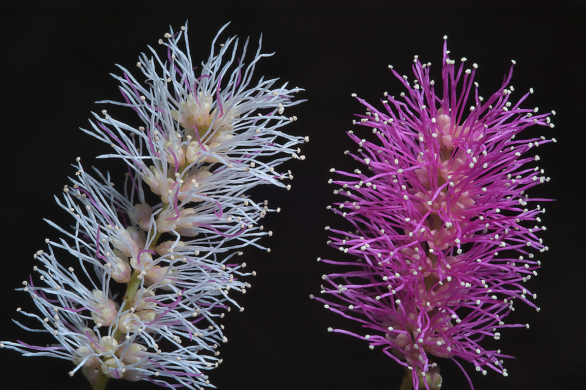 Pink flowers of velvet pod mimosa (Mimosa...M University. College Station, Texas
