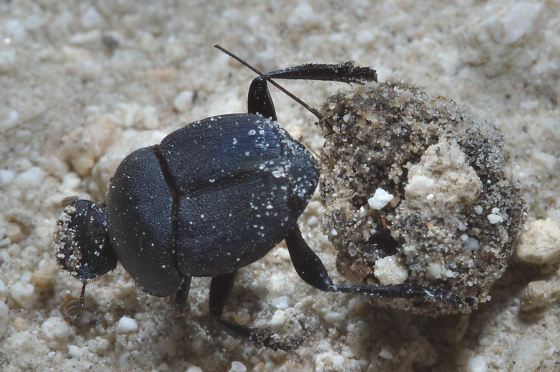Ball rolling dung beetle (Scarabeus) on a road...Unit Somerville Lake State Park. Texas