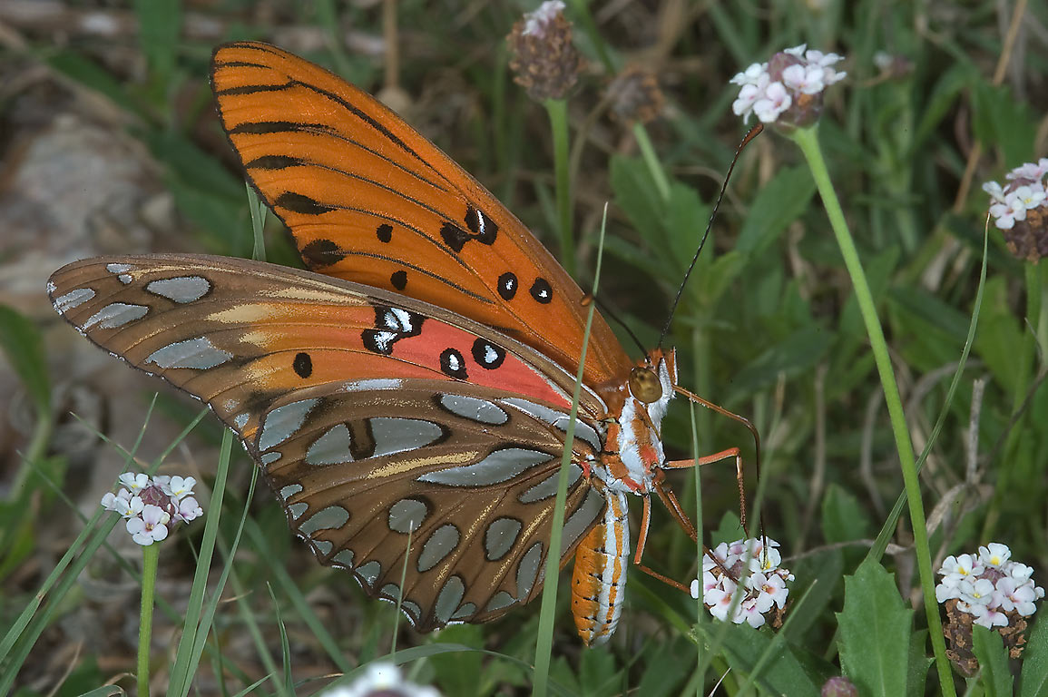 Gulf Fritillary (Agraulis vanillae) butterfly on...Unit Somerville Lake State Park. Texas