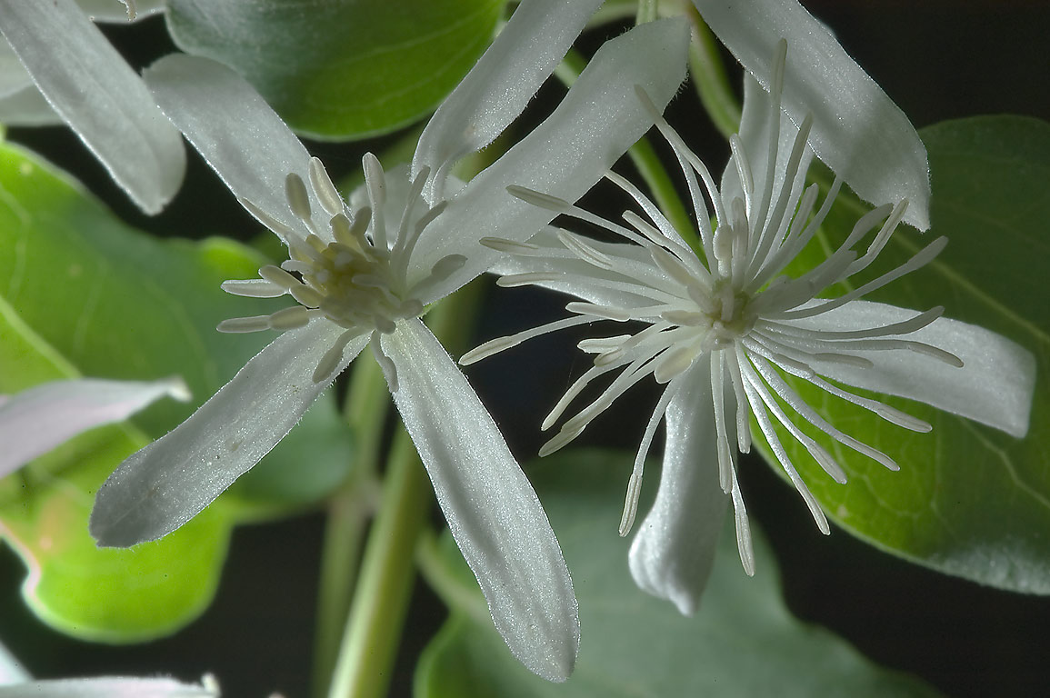 White flowers of Virgin's Bower (Clematis...M University. College Station, Texas
