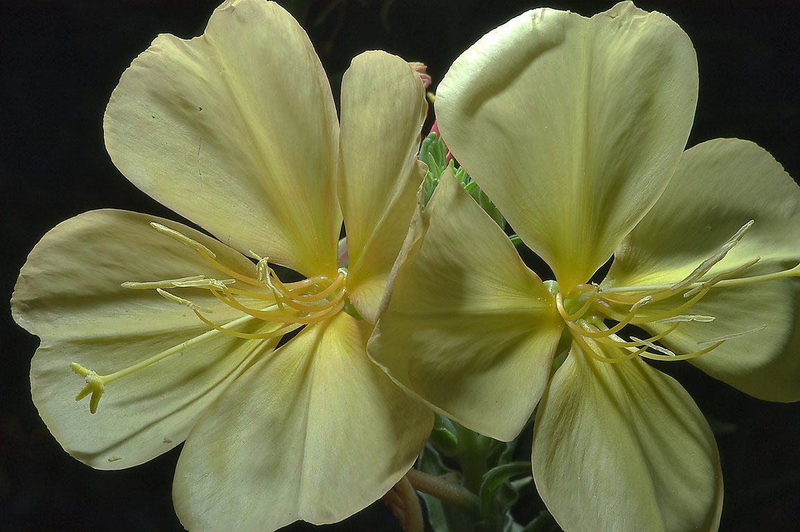 Yellow flowers of Evening primrose (Oenothera...M University. College Station, Texas