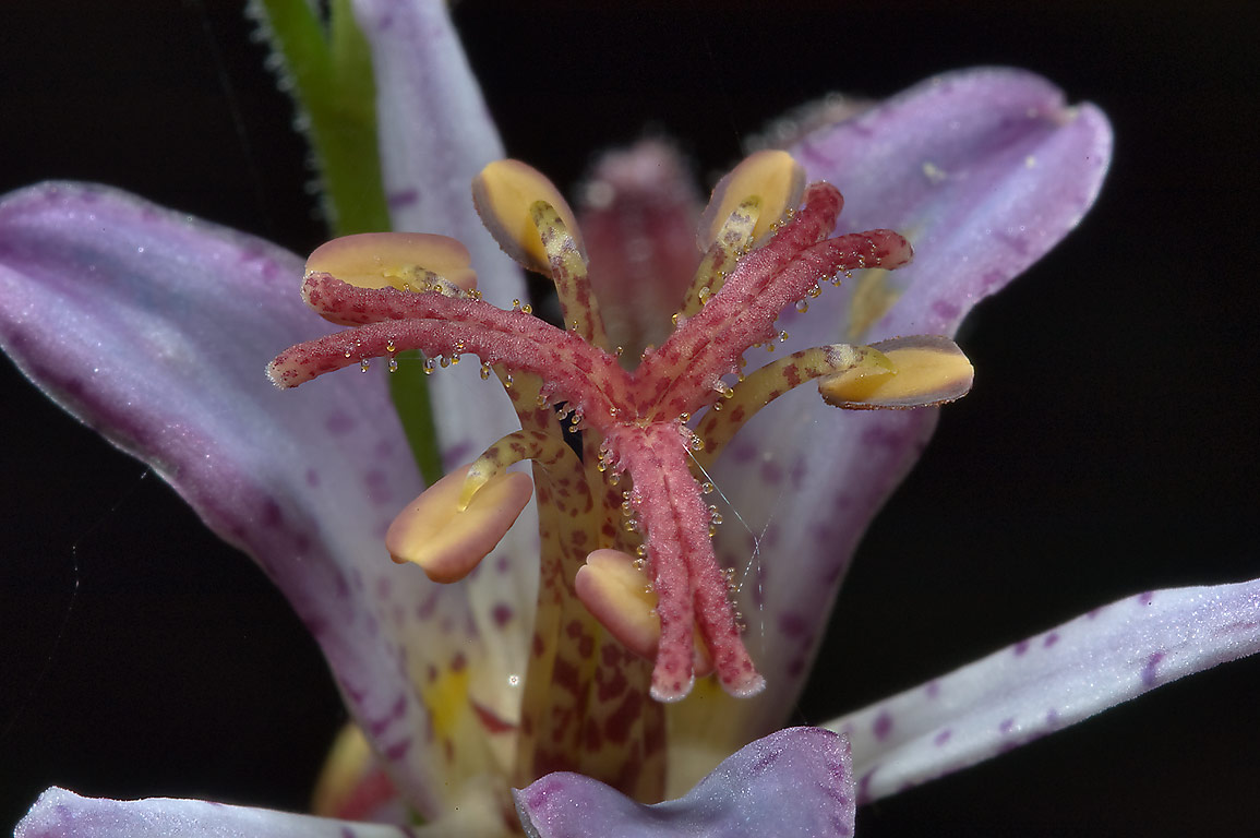 Toad Lily (Tricyrtis hirta) near a pond in Mercer...Gardens. Humble (Houston area), Texas