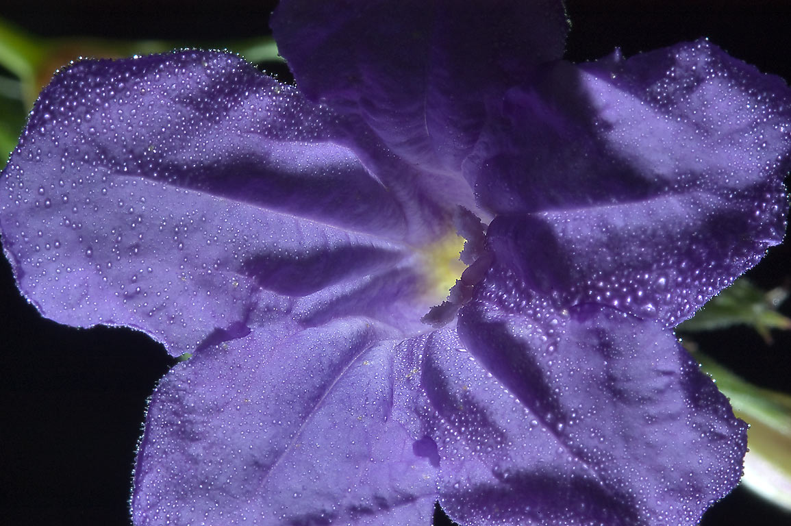 Violet ruella (Ruellia nudiflora) with dew in...State Historic Site. Washington, Texas