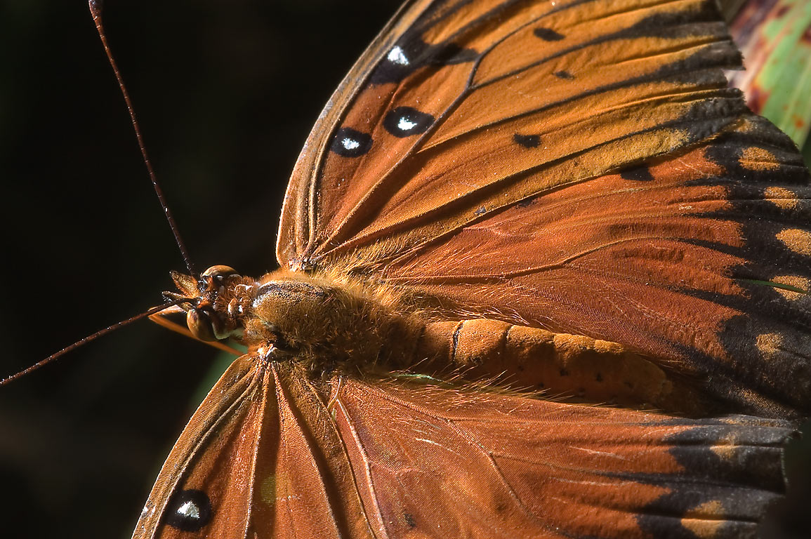 Wing texture of Gulf fritillary (Agraulis...State Historic Site. Washington, Texas