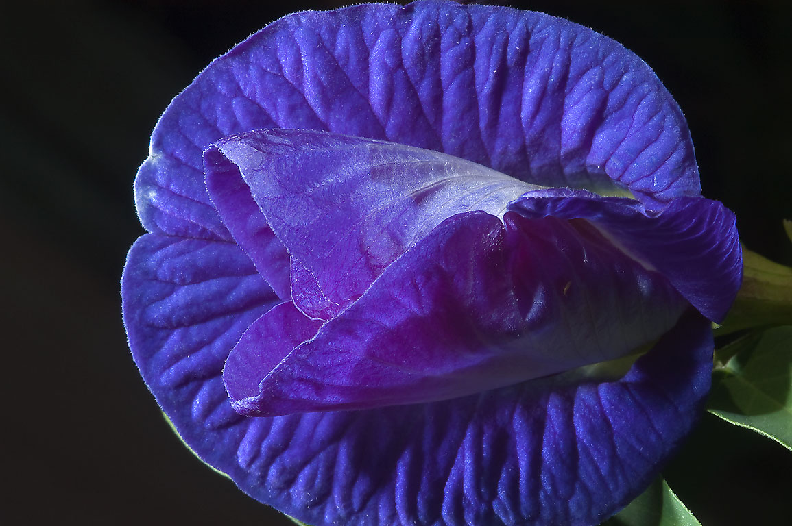 Blue pea vine (butterfly pea, Clitoria ternatea...M University. College Station, Texas