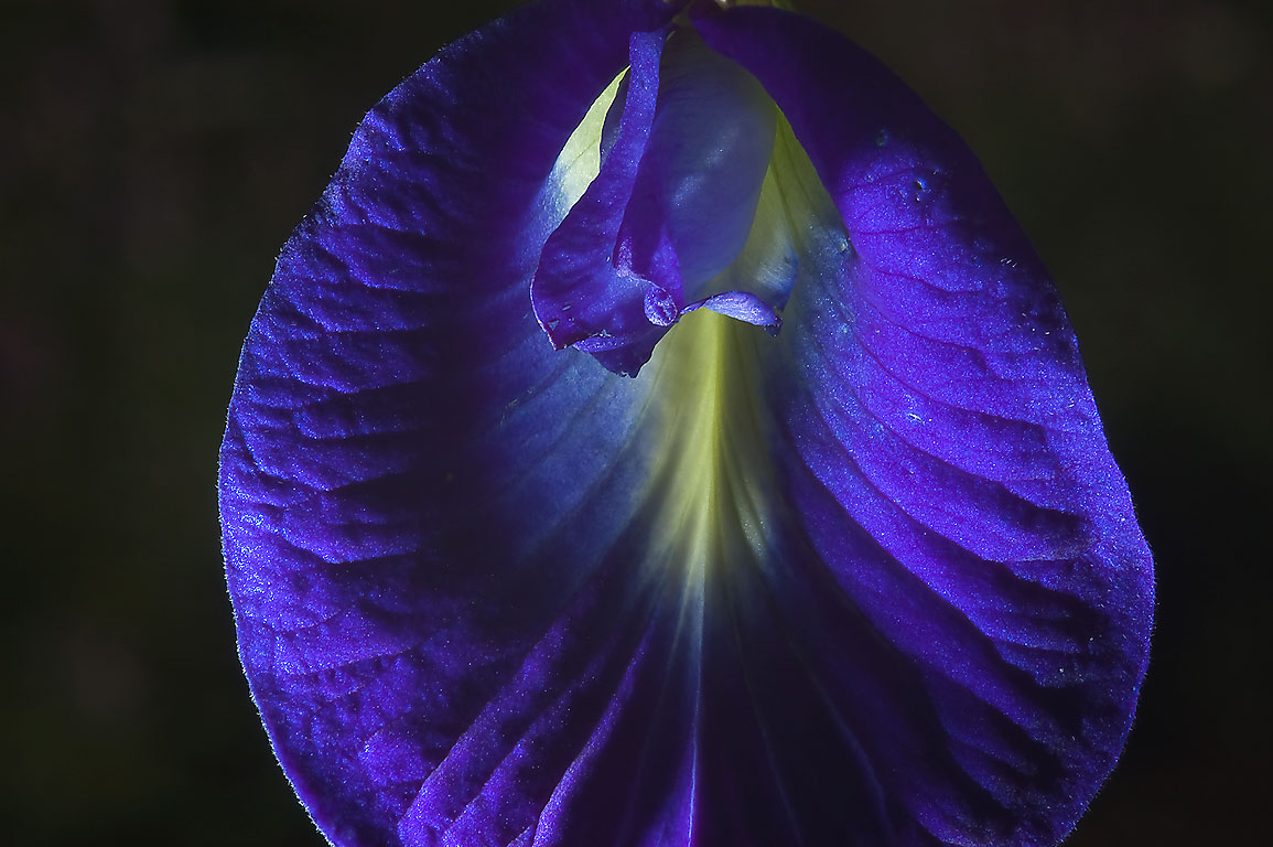 Close up of a flower of Blue pea vine (butterfly...M University. College Station, Texas