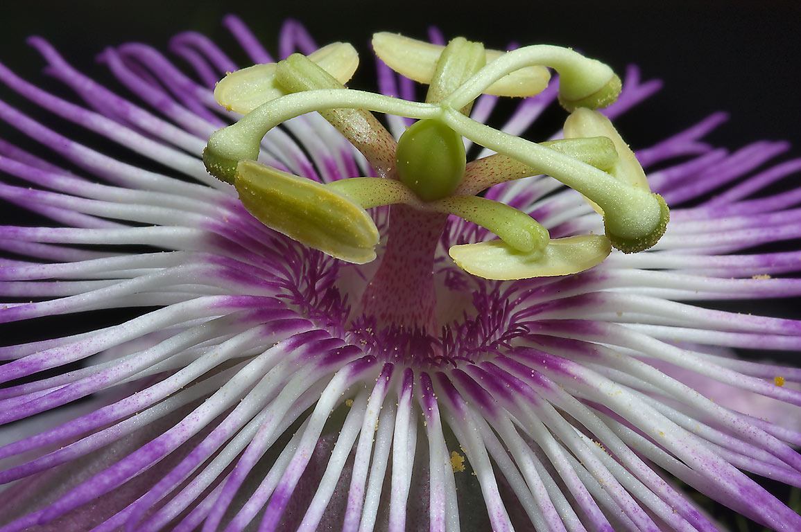 Close up of passion flower (passiflora) in TAMU...M University. College Station, Texas
