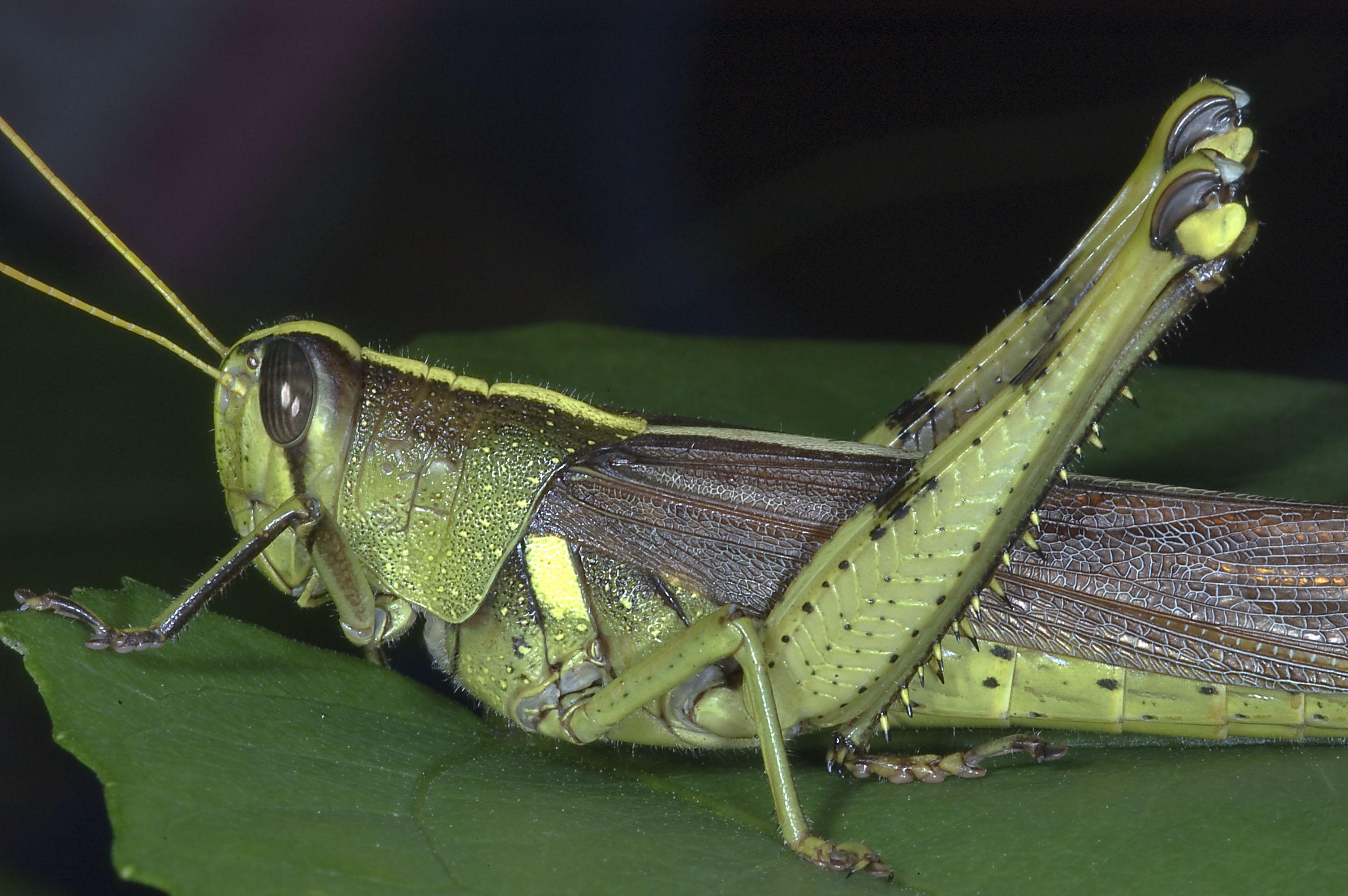 Photo 792-22: Green grasshopper in Antique Rose Emporium ...