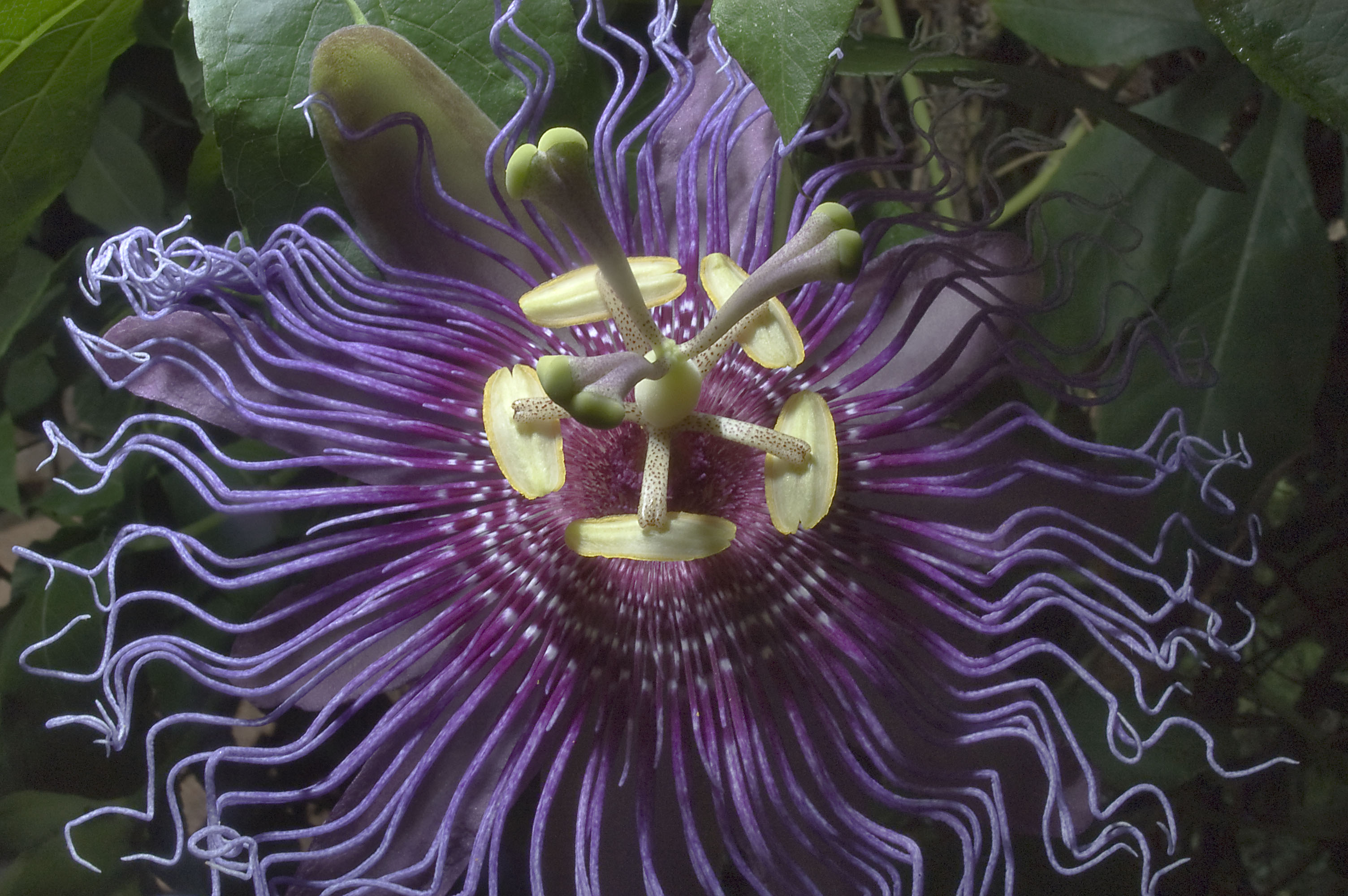 792 26 Purple passion flower passiflora in Antique Rose Emporium In
