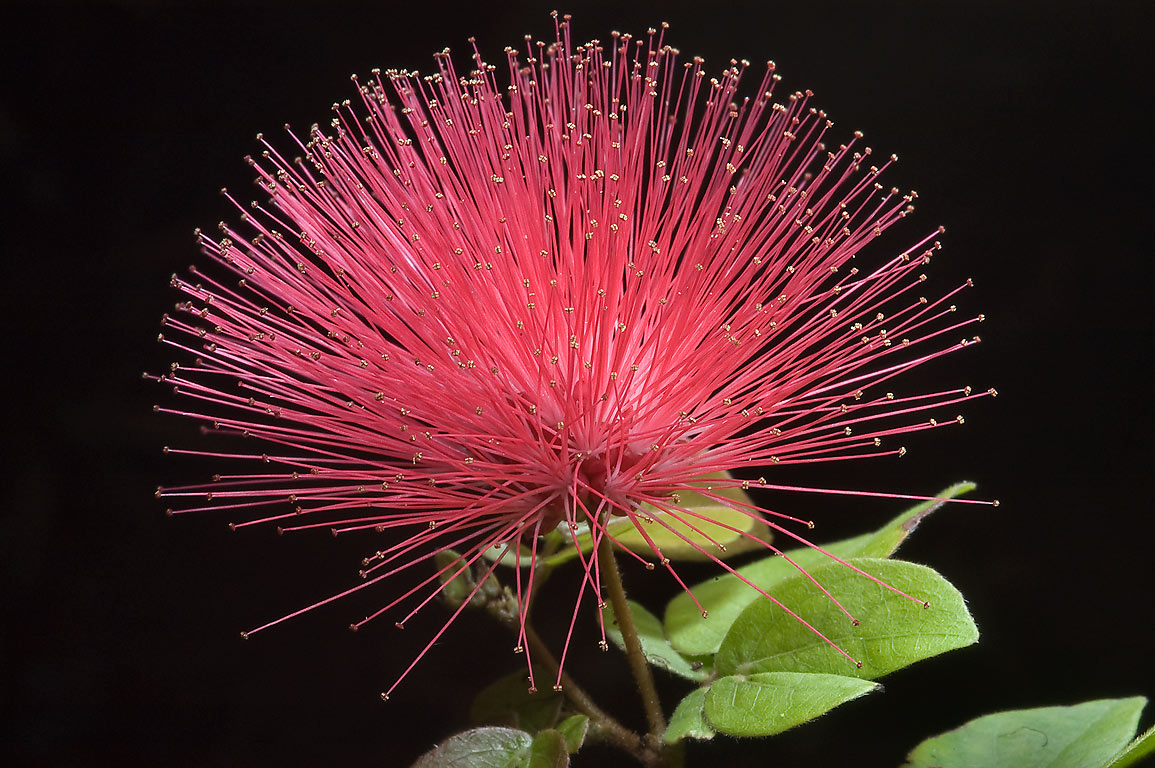 Fairy Duster (Red powder puff, Calliandra...M University. College Station, Texas