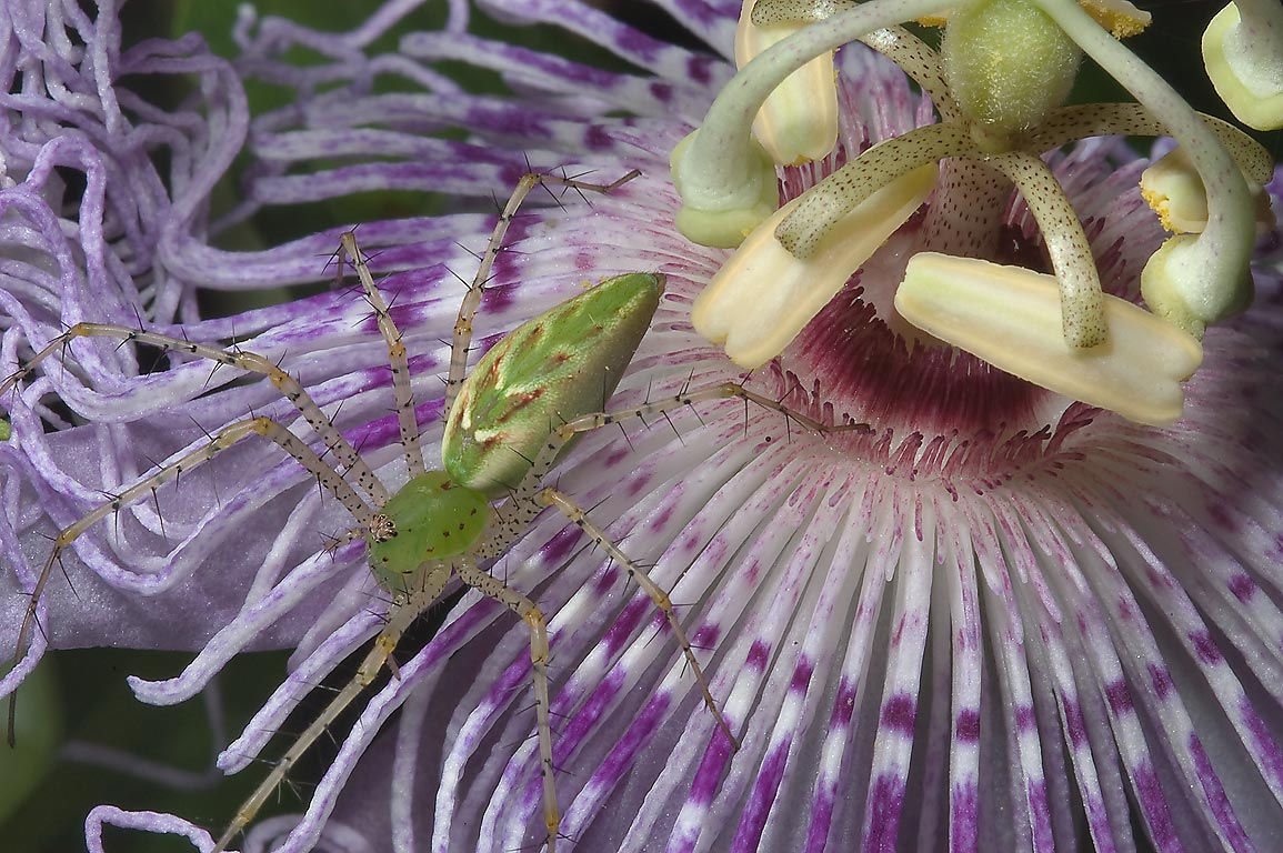 Green lynx spider on purple passion flower...Creek Park. College Station, Texas