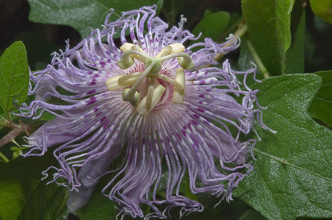 Passion flower (passiflora) on Iron Bridge Trail...Creek Park. College Station, Texas
