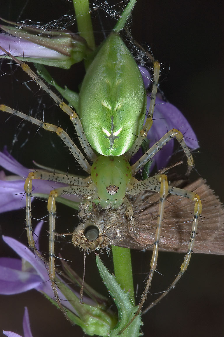 Green lynx spider preying on a skipper butterfly...National Forest. Richards, Texas