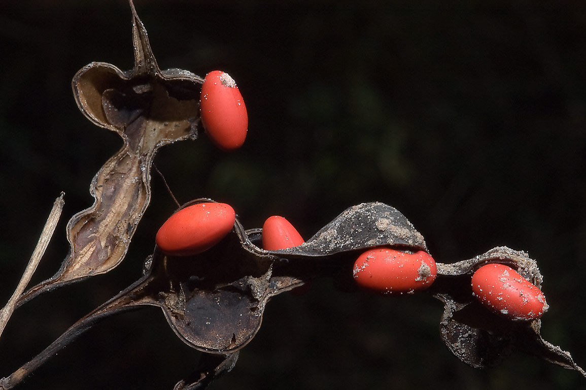 Red seeds of coral beans in Little Lake Creek...National Forest. Richards, Texas