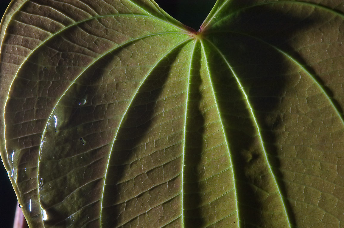 Back lit leaf of Air potato (Dioscorea bulbifera...M University. College Station, Texas