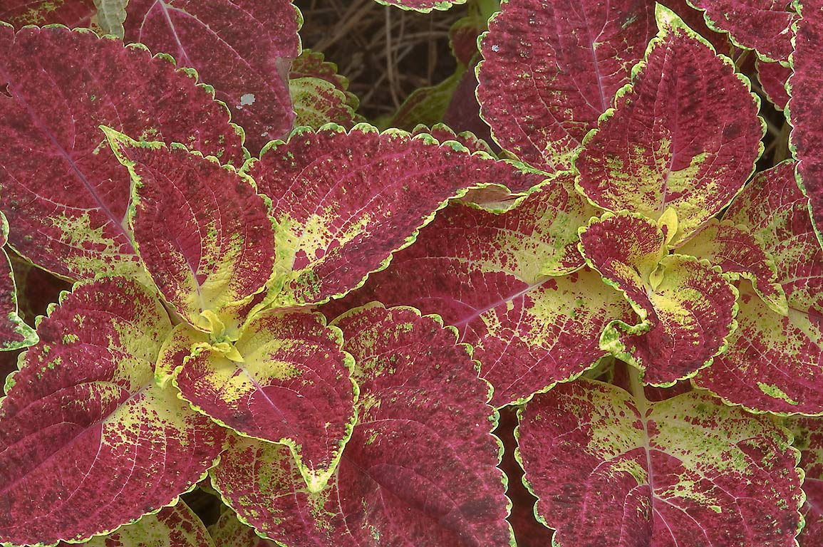 Green and brown leaves of coleus in Mercer...Gardens. Humble (Houston area), Texas