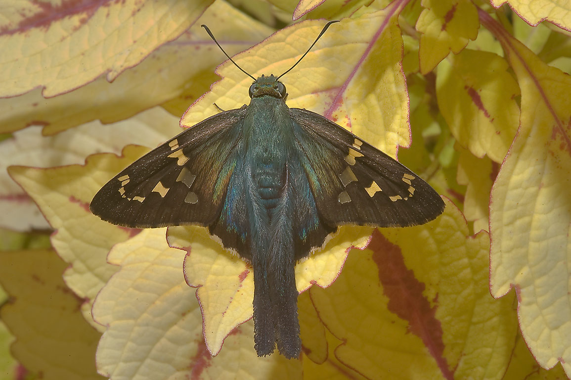 Long tailed skipper butterfly (Urbanus proteus...Gardens. Humble (Houston area), Texas