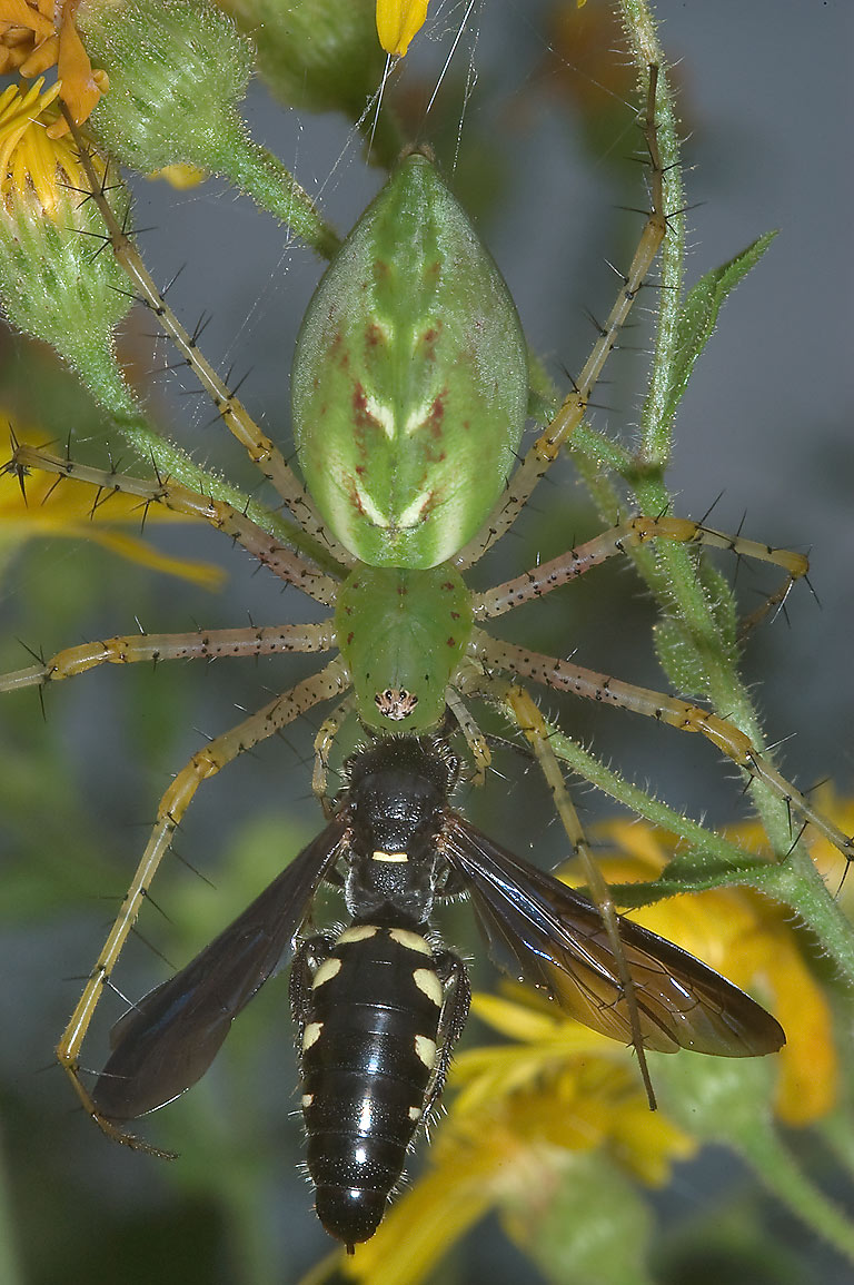 Green lynx spider preying on a hornet wasp in...State Historic Site. Washington, Texas
