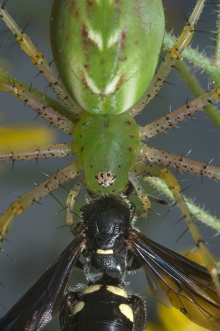 Green lynx spider eating a hornet wasp on Ferry...State Historic Site. Washington, Texas