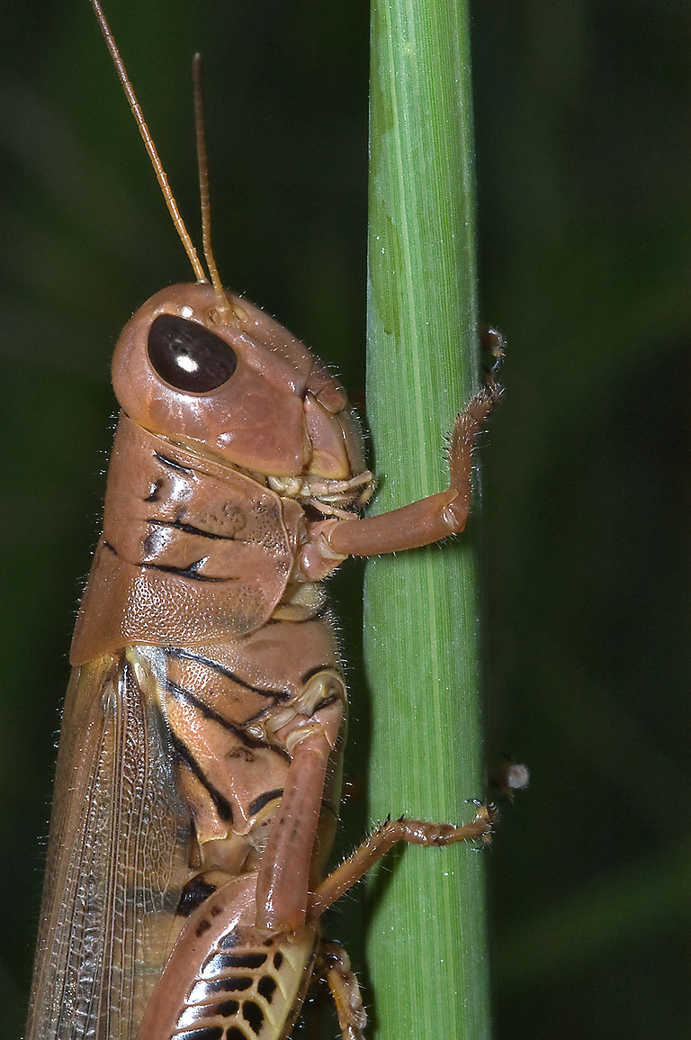 Grasshopper on a stalk of grass near Ferry Rd. in...State Historic Site. Washington, Texas