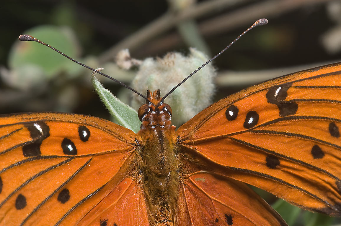 Close up of gulf fritillary butterfly on a dam on...Trail in Huntsville State Park. Texas