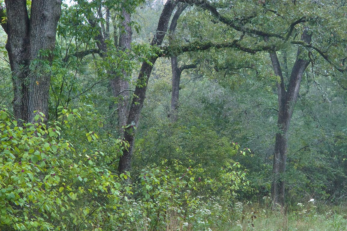Oaks in mist on sewage line right of way in Lick Creek Park. College Station, Texas