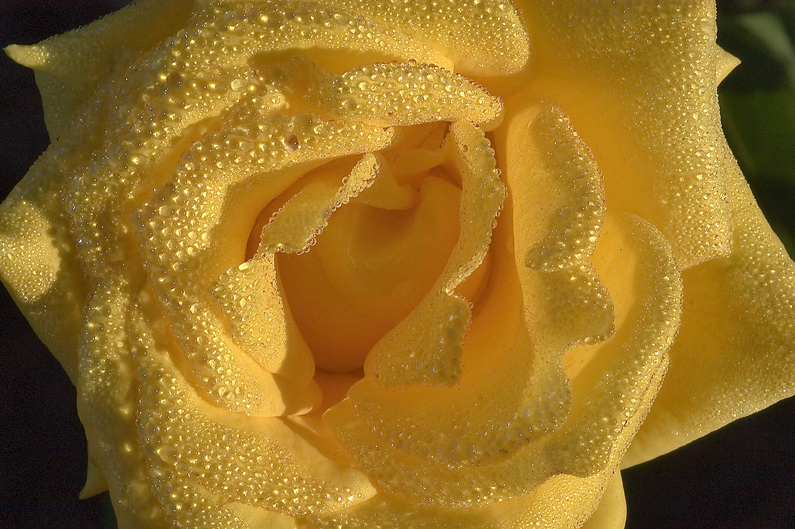 Yellow rose in dew in TAMU Horticultural Gardens...M University. College Station, Texas