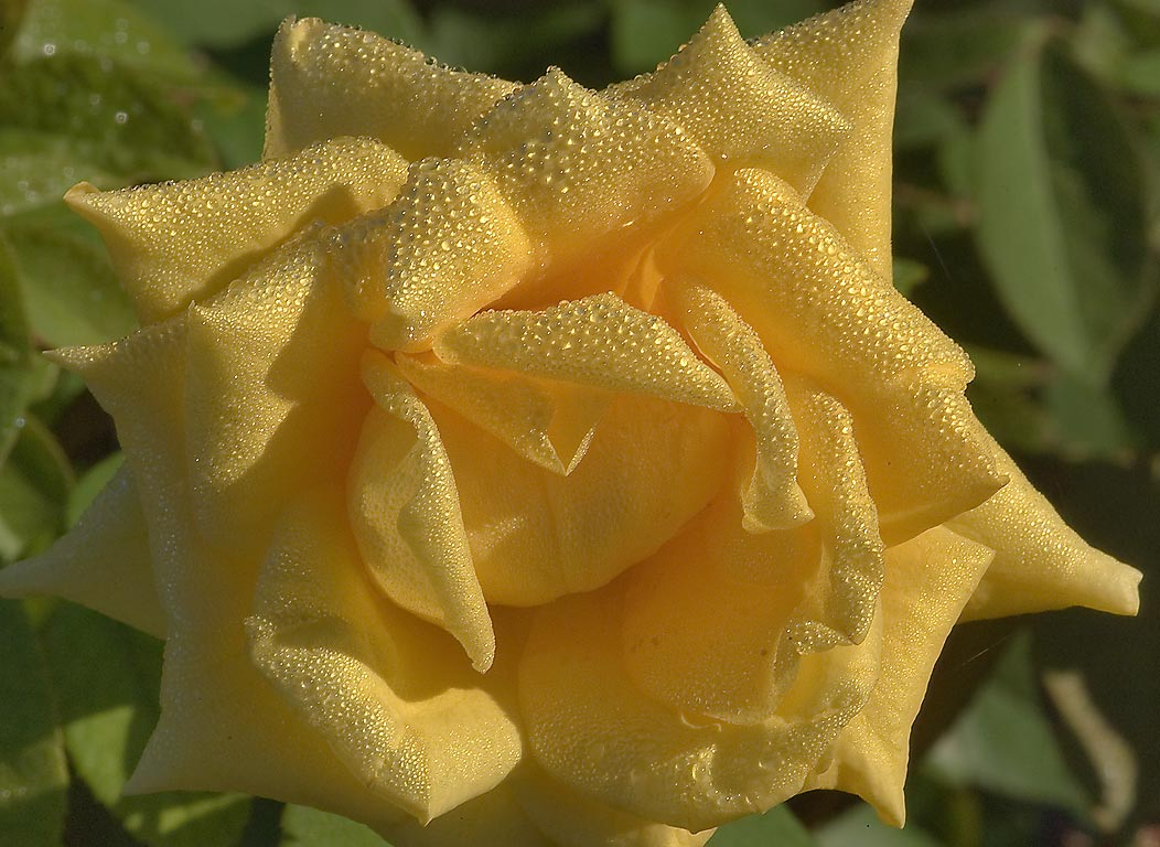 Yellow rose in dew at morning in TAMU...M University. College Station, Texas