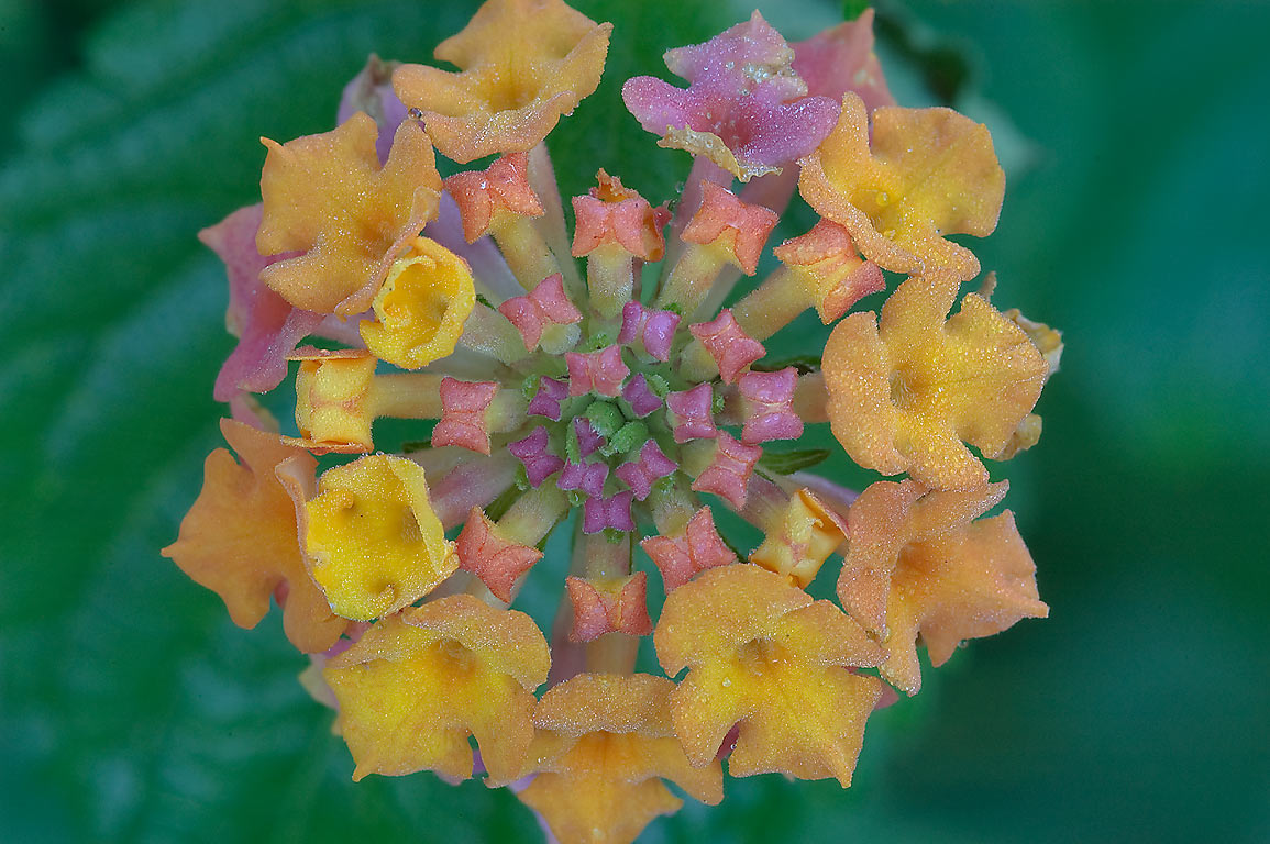 Lantana flowers in TAMU Holistic Garden in Texas...M University. College Station, Texas