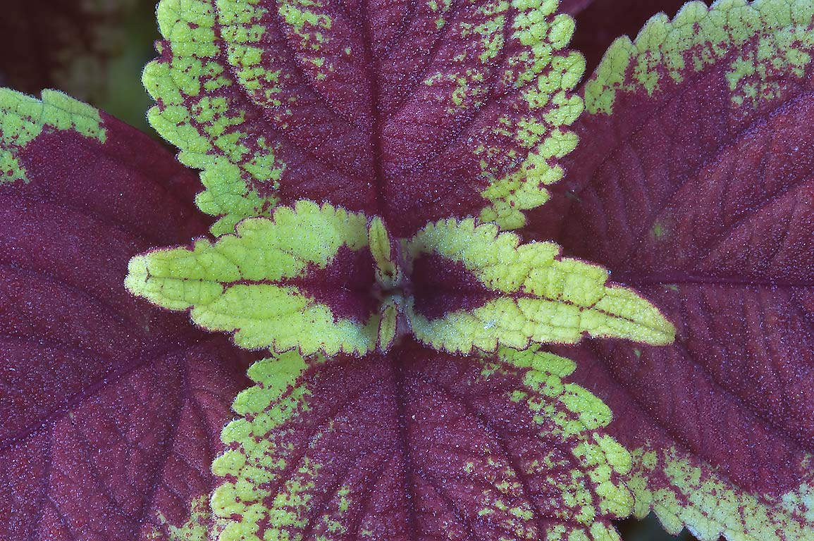 Coleus leaves in TAMU Holistic Garden in Texas A&M University. College Station, Texas