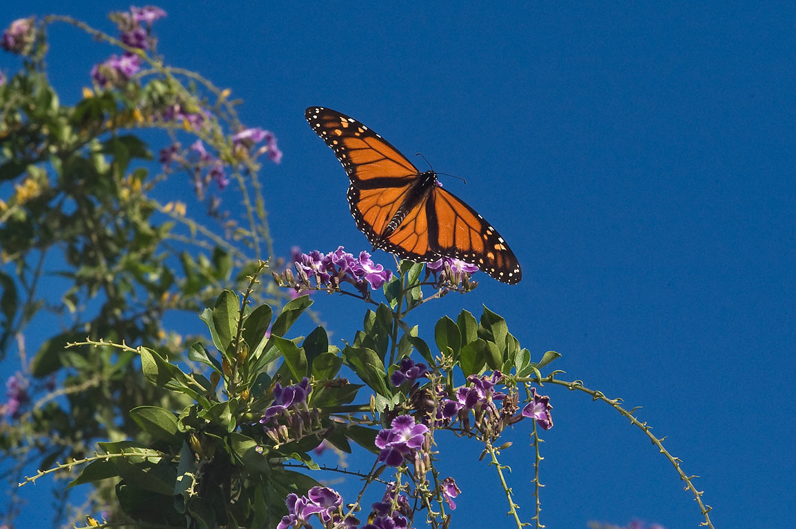 Monarch butterfly on flowers of golden dewdrop in...M University. College Station, Texas