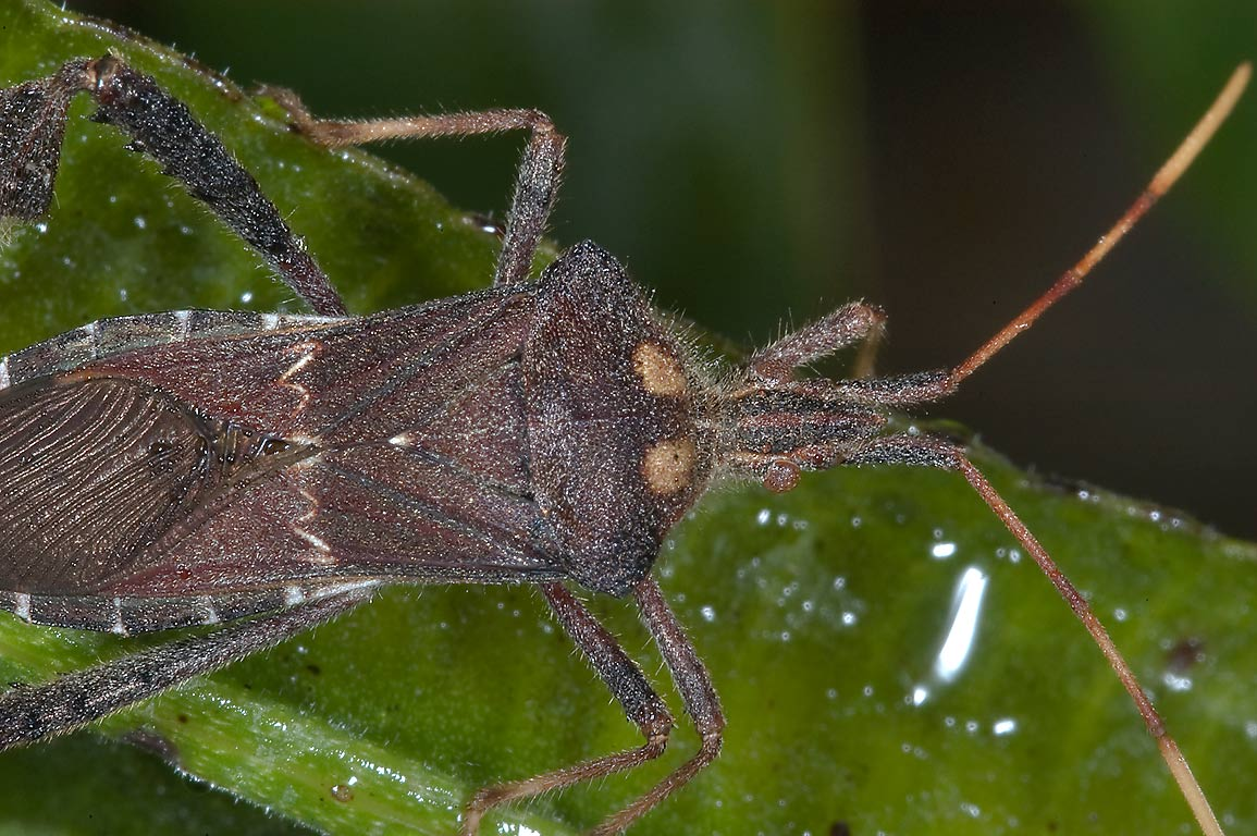 Leaf-footed bug (Coreidae) Leptoglossus zonatus...M University. College Station, Texas