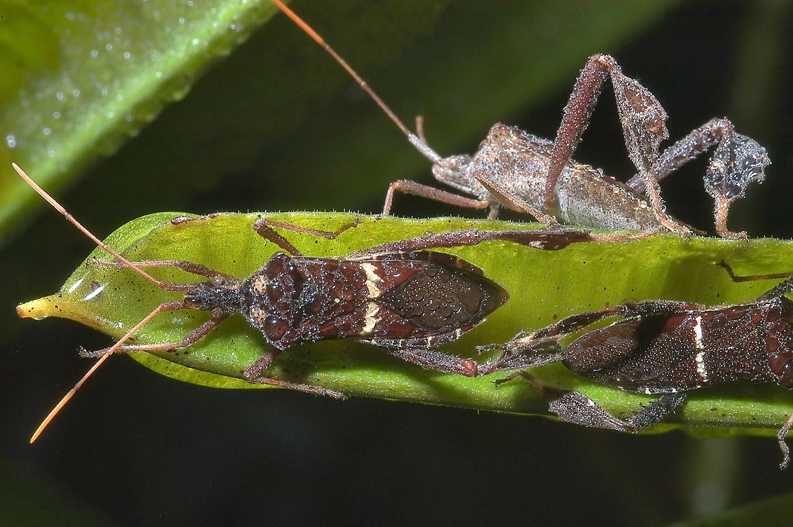 Leaf-footed bugs Leptoglossus zonatus sleeping on...M University. College Station, Texas