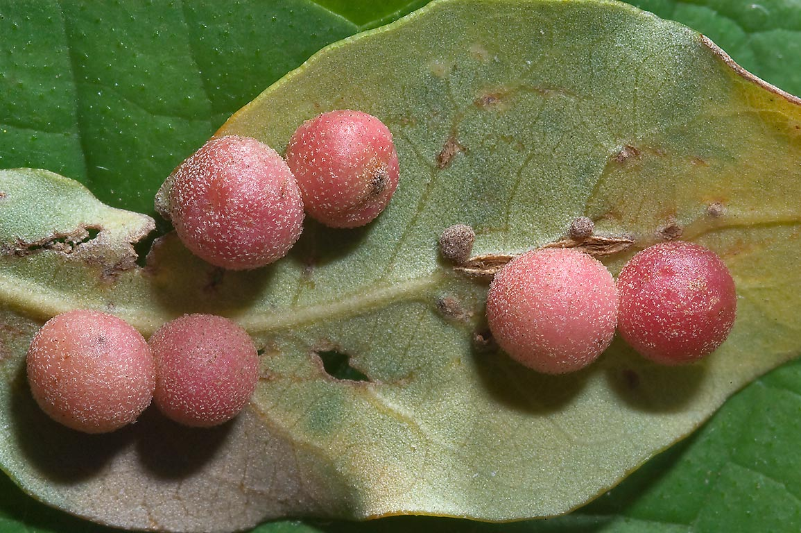 Galls on underside of a fallen live oak leaf in Zilker Botanical Gardens. Austin, Texas