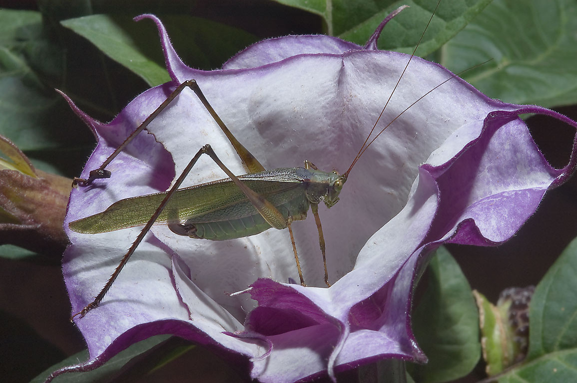 Jimsonweed (datura) flower with a grasshopper in...M University. College Station, Texas