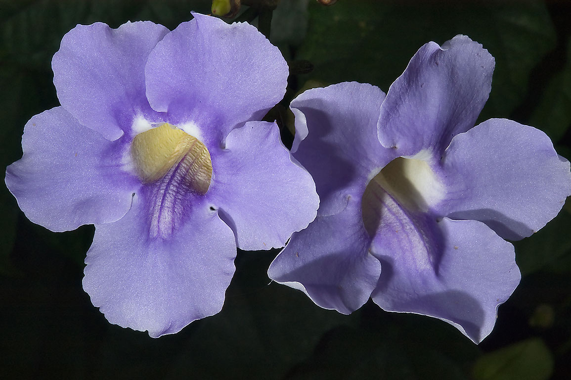 Sky flower (Thunbergia grandiflora) in Antique Rose Emporium. Independence, Texas