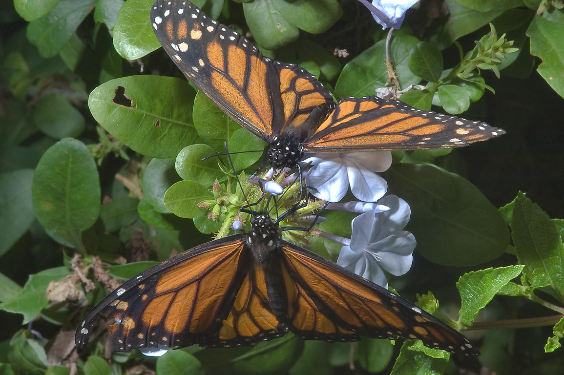 Monarch butterflies on blue plumbago flowers in Antique Rose Emporium. Independence, Texas