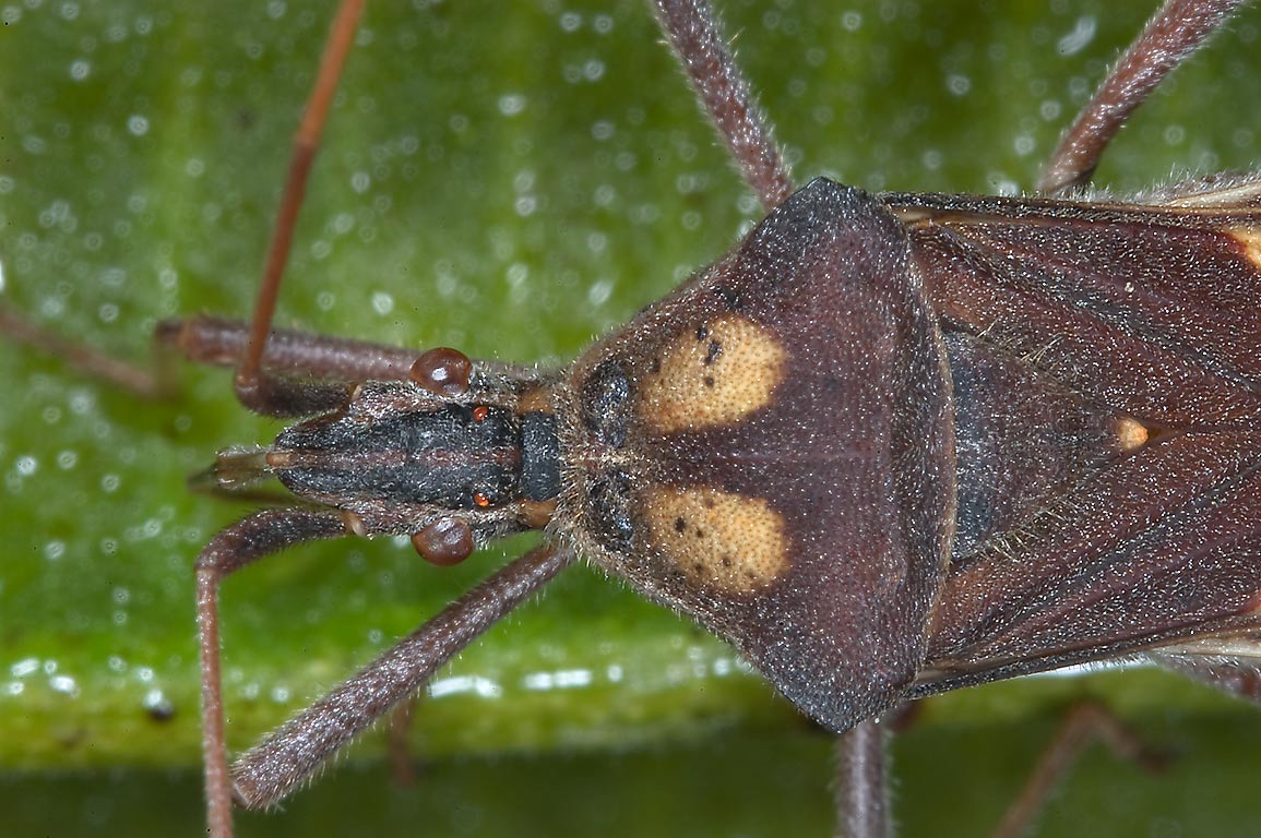 Leaf footed coreid bug on a fruit of candle bush...M University. College Station, Texas