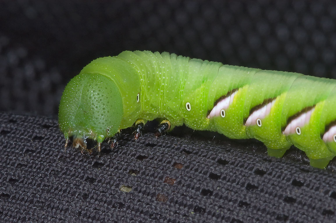 Green caterpillar of tobacco hornworm (Manduca...Lost Pines State Park. Bastrop, Texas