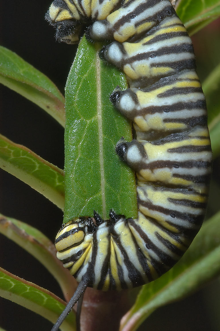 Monarch caterpillar on milkweed in TAMU Holistic...M University. College Station, Texas