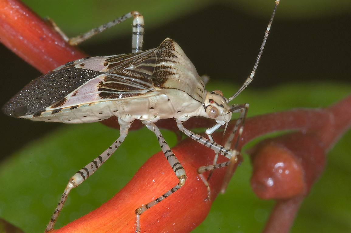 Spot-sided coreid bug (Hypselonotus punctiventris...M University. College Station, Texas