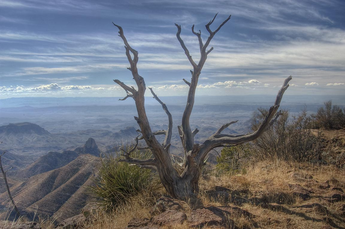 Dry juniper on South Rim. Big Bend National Park