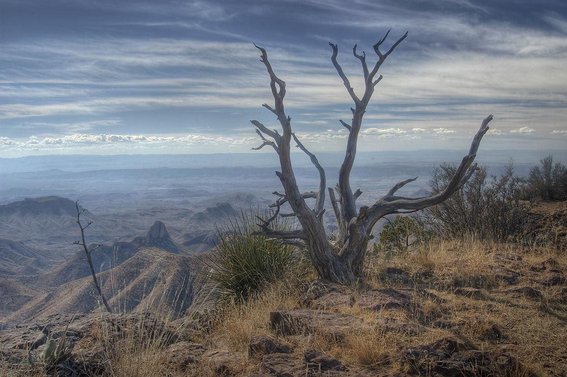 Dry tree on South Rim. Big Bend National Park